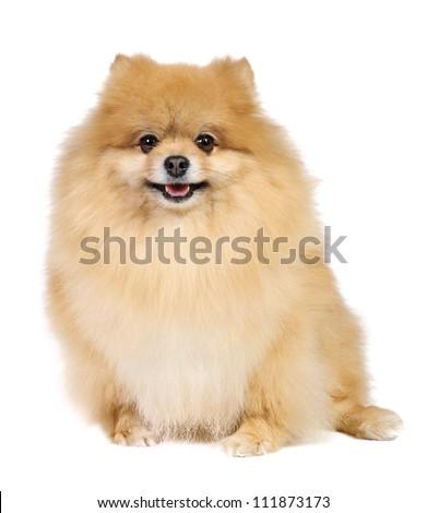 German (Pomeranian) Spitz dog in studio on white background - stock photo