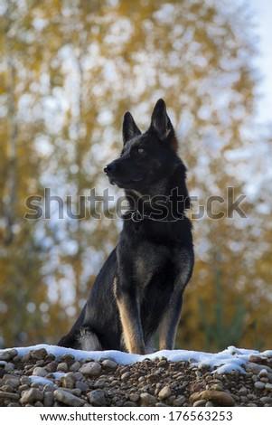 German sheepdog sitting on snow - stock photo