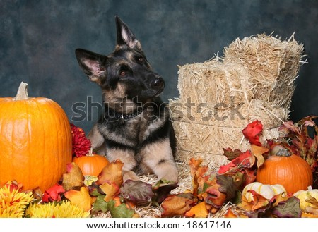 German Shepard Dog in Autumn Setting - stock photo