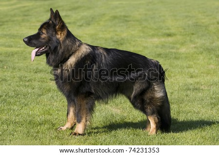german shepard longhair standing in the green grass and watching other - stock photo