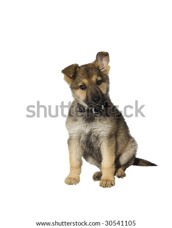 German Sheperd Puppy with a Questioning Look - stock photo