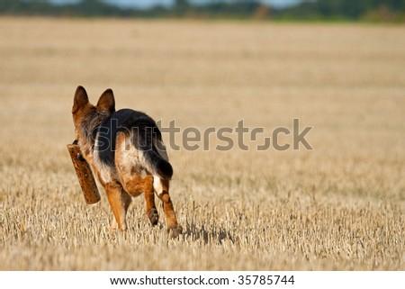 German Shepherd - stock photo