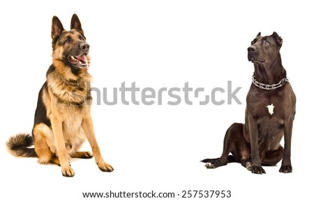 German Shepherd and a Staffordshire terrier sitting opposite each other isolated on white background - stock photo
