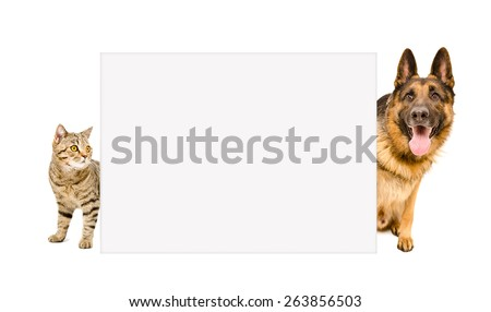 German Shepherd and cat Scottish Straight peeking from behind a poster isolated on white background - stock photo