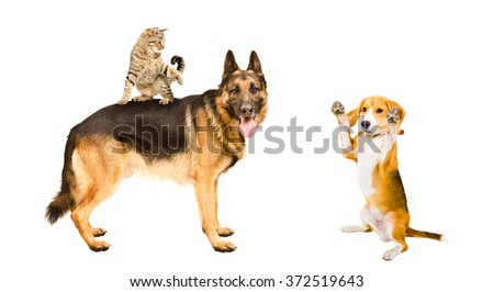 German shepherd, cat and Beagle dog playing together, isolated on white background - stock photo