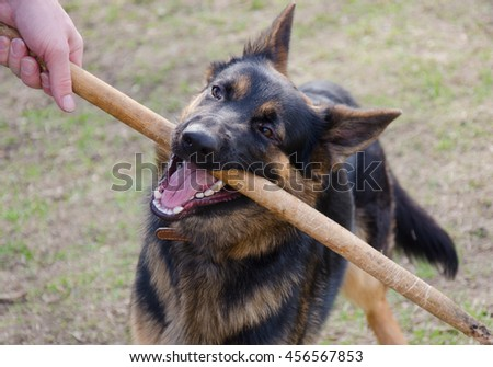 German shepherd chewing on a stick held by the owner (selective focus on the dog eyes) - stock photo