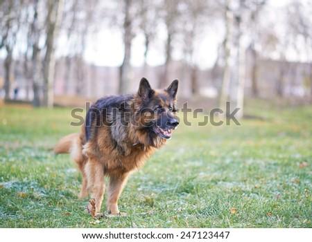 German shepherd dog composition against the autumn backdrop - stock photo