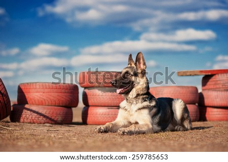 German shepherd dog (East European sheepdog) on the field for training, obedience. - stock photo