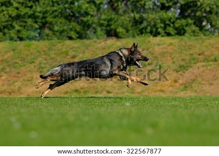 German Shepherd Dog,  is a breed of large-sized working dog that originated in Germany, sitting in the green grass with nature background - stock photo