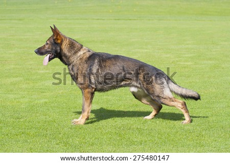 German Shepherd dog is standing in profile on the green grass - stock photo