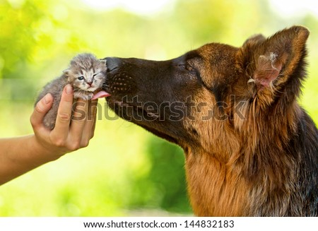 German shepherd dog kissing little tabby kitten - stock photo