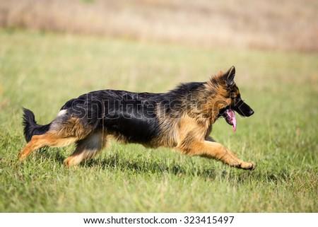 German shepherd dog long-haired running outdoor - stock photo