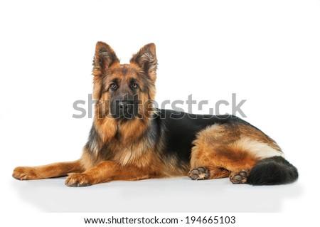 German shepherd dog lying isolated on white background - stock photo