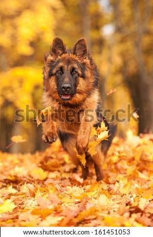 German shepherd dog running in autumn - stock photo