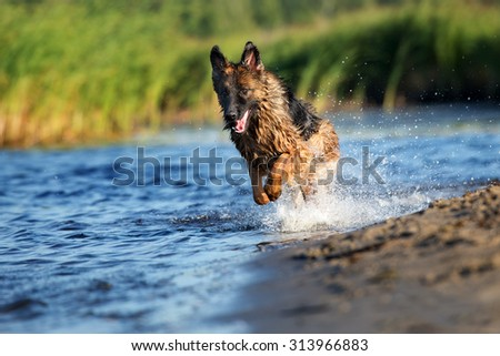 german shepherd dog running on water - stock photo