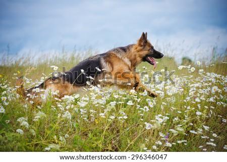 german shepherd dog running outdoors in summer - stock photo