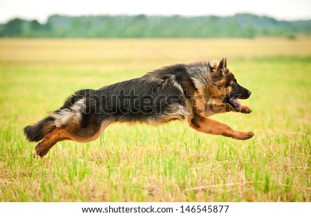 German shepherd dog running with four legs in the air  - stock photo