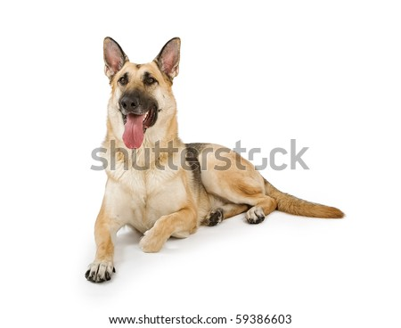 German Shepherd dog sitting down and isolated on white - stock photo