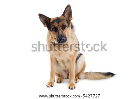 german shepherd dog sitting down and looking into the camera, isolated on a white background - stock photo