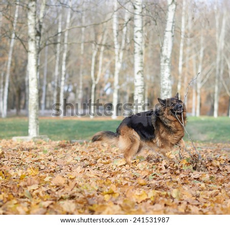 German shepherd dog standing on a ground covered with multiple maple leaves as an autumn background composition - stock photo