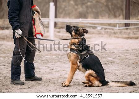 German Shepherd Dog Training. Biting Alsatian Wolf Dog. Close Up - stock photo