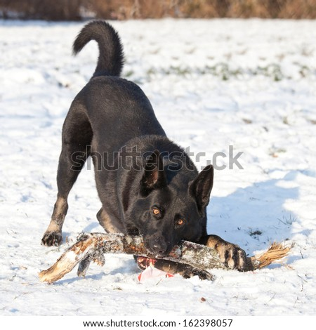 German shepherd dog with stick - stock photo
