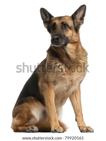 German Shepherd Dog, 10 years old, sitting in front of white background - stock photo