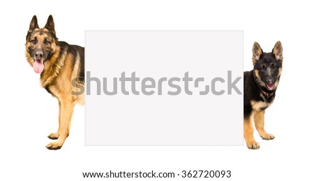 German Shepherd dogs peeking from behind a banner isolated on a white background  - stock photo
