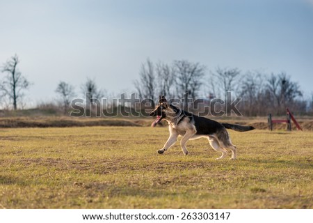 German shepherd (east european) dog running on the field early spring - stock photo