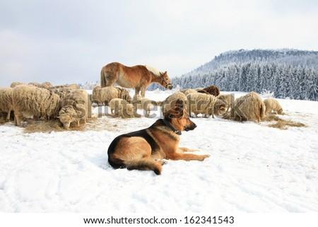 German Shepherd guarding herd of sheep feeding Skudde. Winter on the farm. - stock photo