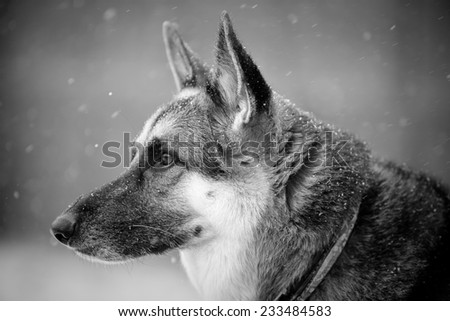 German Shepherd In Snow - This is a black and white portrait of a beautiful German Shepherd looking stoic in the snow.  - stock photo
