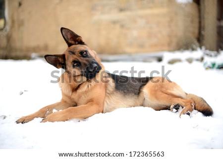 german shepherd in the snow  - stock photo