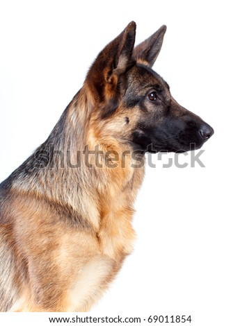 German Shepherd isolated on white background, studio shot. - stock photo