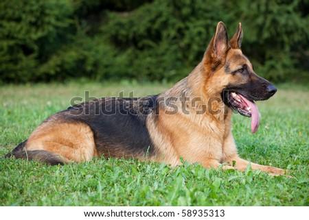 German Shepherd laying on the green grass - stock photo