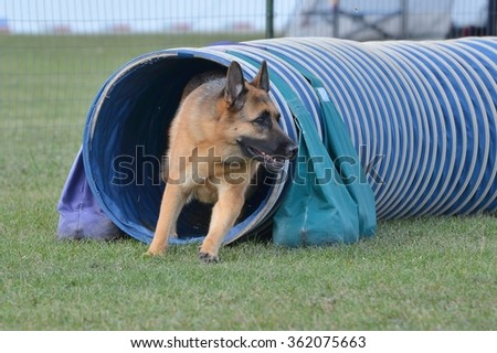 German Shepherd Leaving Tunnel at a Dog Agility Trial - stock photo