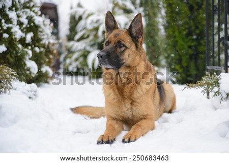 German shepherd lying on the snow in the winter - stock photo