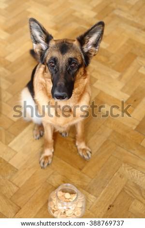 german shepherd of cookies, German Shepherd at home,German shepherd ears, dog treats - stock photo