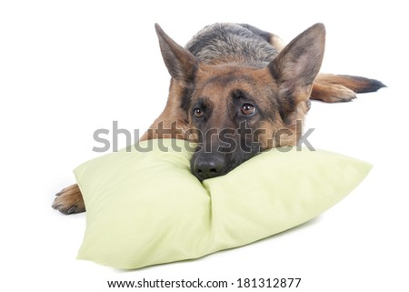 German shepherd on a bed in the studio - stock photo