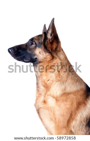 German Shepherd (portrait) in front, isolated on white background, studio shot. - stock photo