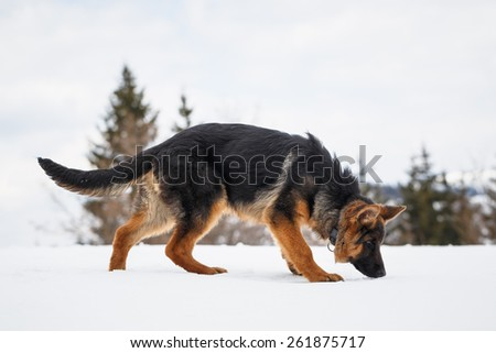 German Shepherd, portrait of a puppy in the snow - stock photo