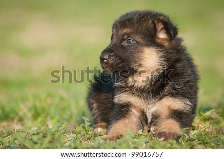 German shepherd puppies - stock photo