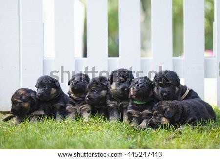 German shepherd puppies outside next fence - stock photo
