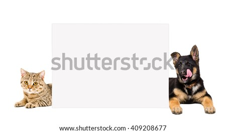German Shepherd puppy and cat Scottish Straight lying, peeking from behind a banner isolated on white background - stock photo