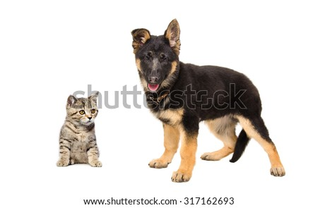 German Shepherd puppy and kitten Scottish Straight together isolated on white background - stock photo