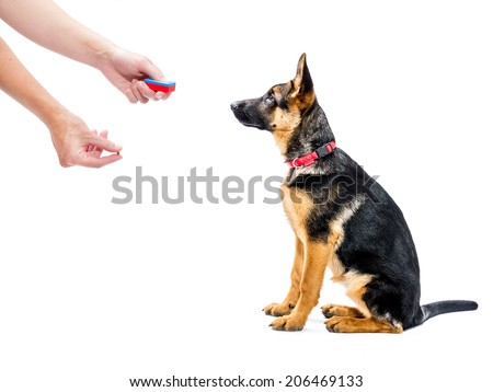 German shepherd puppy being trained how to sit using clicker and treat method - stock photo