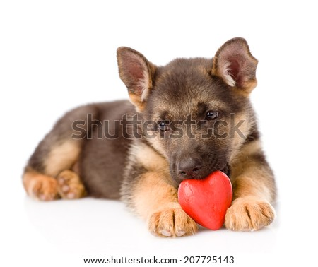 german shepherd puppy dog with a red heart. isolated on white background - stock photo