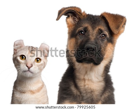 German Shepherd puppy, 3 months old and a American Curl kitten, 7 months old, in front of white background - stock photo