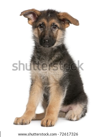 German Shepherd puppy, 4 months old, sitting in front of white background - stock photo