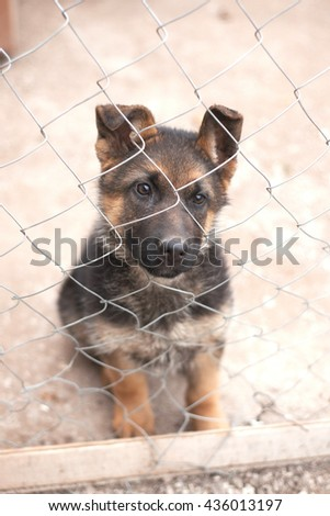 German shepherd puppy pet dog relaxing at nature backgrounds - stock photo