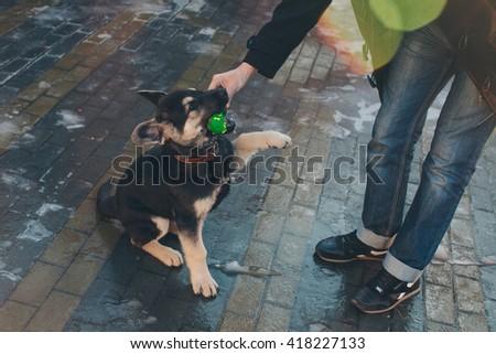 German Shepherd puppy playing in the street - stock photo
